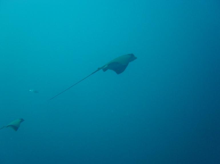 Raie aigle, plongée aux Illes Medes