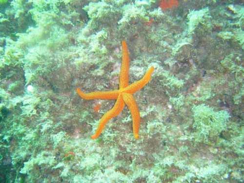 Etoile de mer, plongée aux Illes Medes